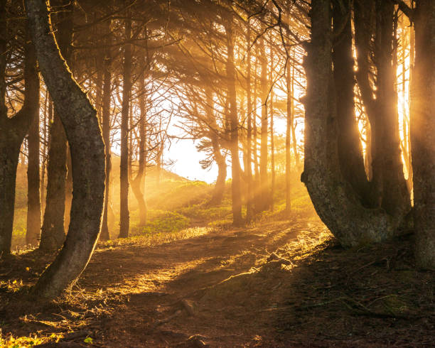 Sun beams in bright and foggy Autumn Forest Golden sun beams glowing in the foggy autumn forest trees in mist stock pictures, royalty-free photos & images