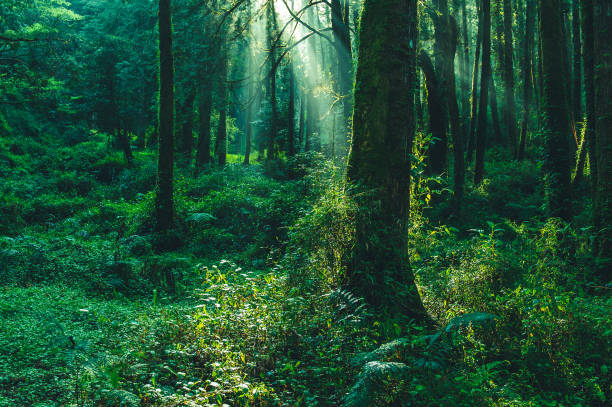 sun beams in the forest sun beams in the forest in ali mountain, taiwan lush foliage stock pictures, royalty-free photos & images