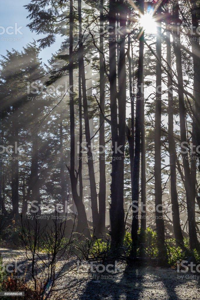 Sun beams through fog and tall trees, Vancouver Island, Canada stock photo