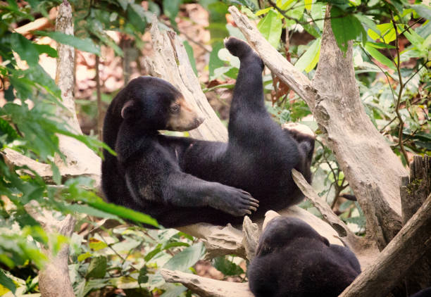 Sun Bear in Borneo Relaxing with Leg Up on Tree Log stock photo