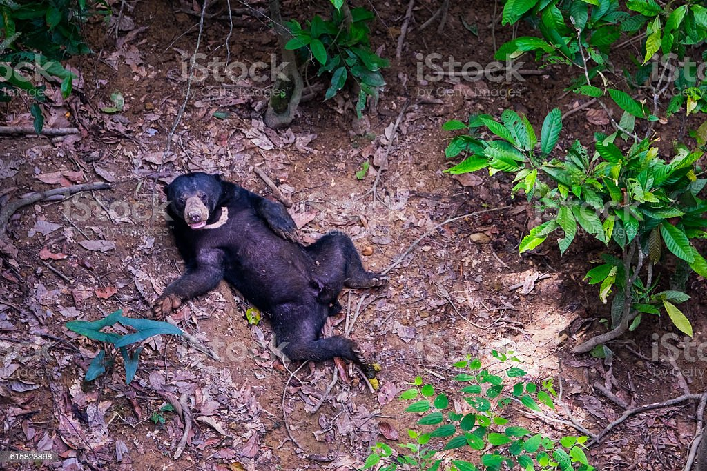 Sun Bear On Borneo Forest Floor Stock Photo Download Image Now