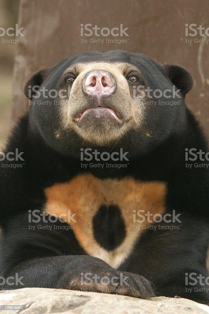 "Sun Bear ""A sun bear also known as a Malaysian bear (Helarctos malayanus) at Dusit Zoo in Bangkok, Thailand."" Animal Stock Photo"