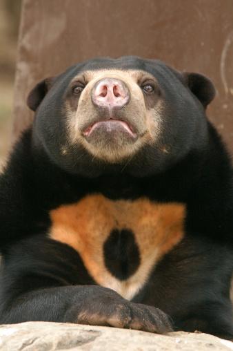 Sun Bear Stock Photo - Download Image Now