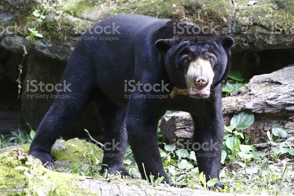 Sun Bear royalty-free stock photo
