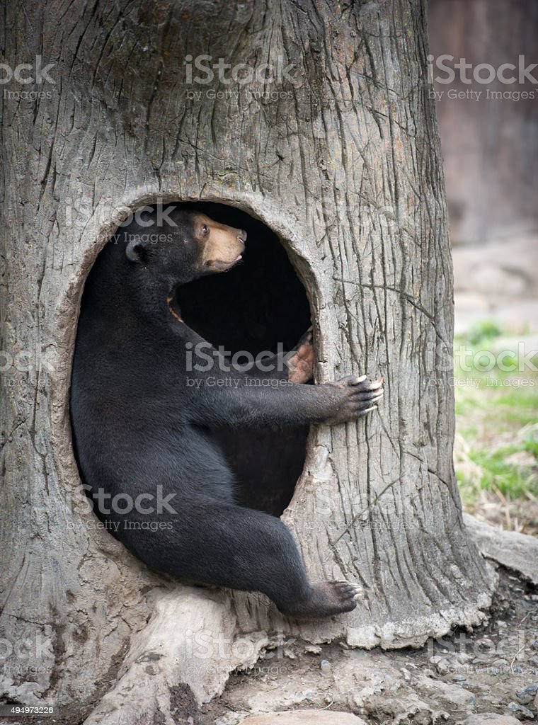 Sun bear sitting in its lair stock photo