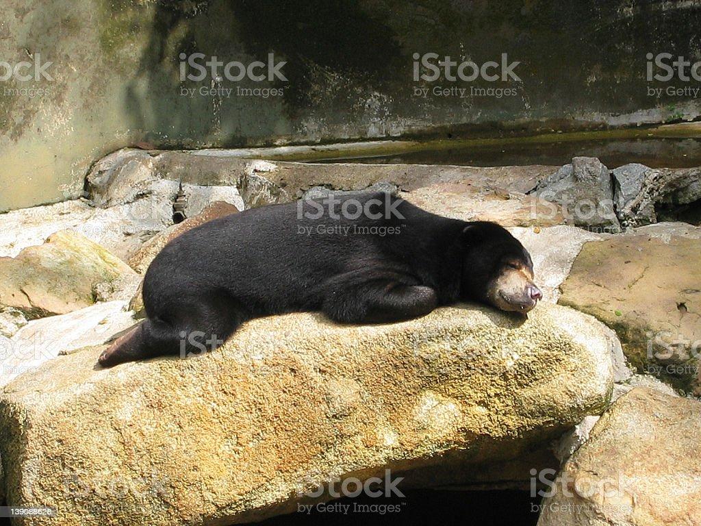 Sun Bear Sunbathing stock photo