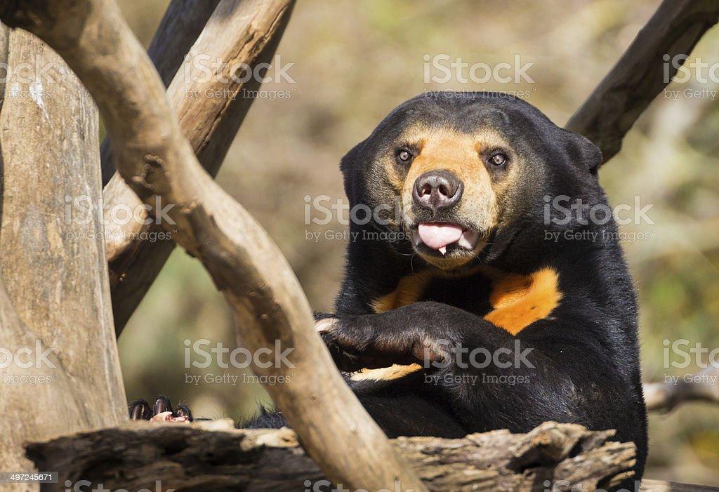 Sun Bear Tongue royalty-free stock photo