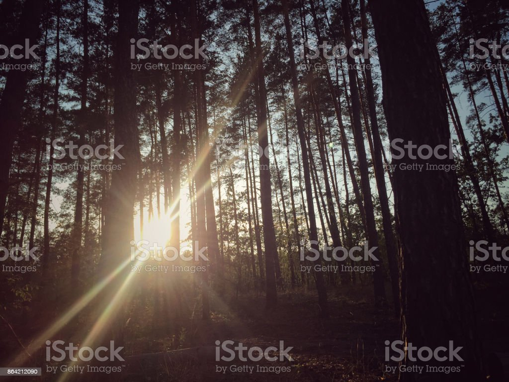 sun behind trees in a forest during autumn royalty-free stock photo