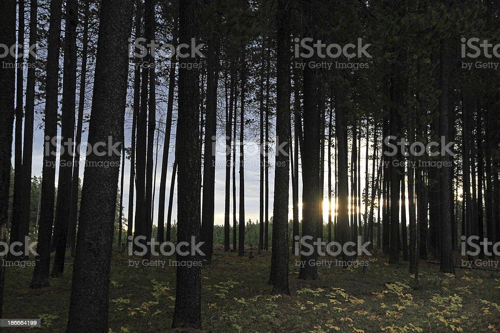 Sun Behind Trees royalty-free stock photo