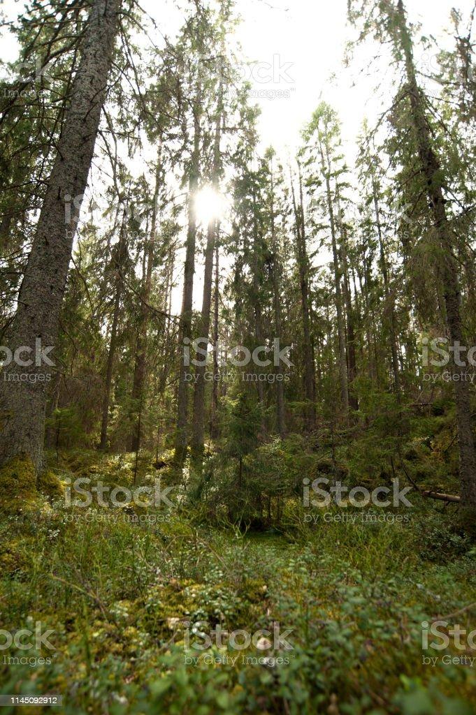 Sol mellan träd i lummig skog - Royaltyfri Bildbakgrund Bildbanksbilder