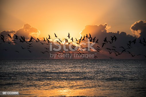 Flock of Seagulls flying over ocean at sunrise in South Florida