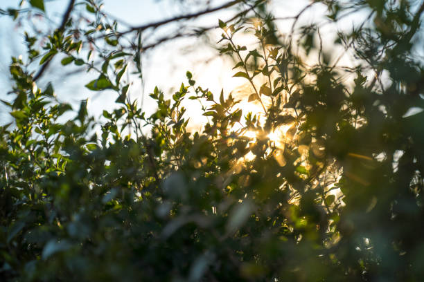 Sun breaks through a bushes at sunset (Light-rays) stock photo