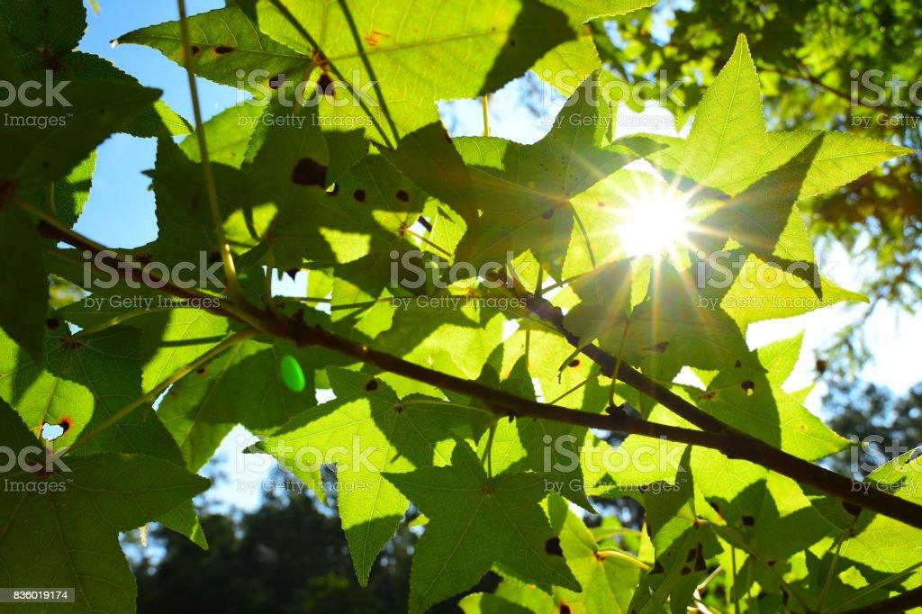 Sun burst through gap between Sweet Gum leaves stock photo