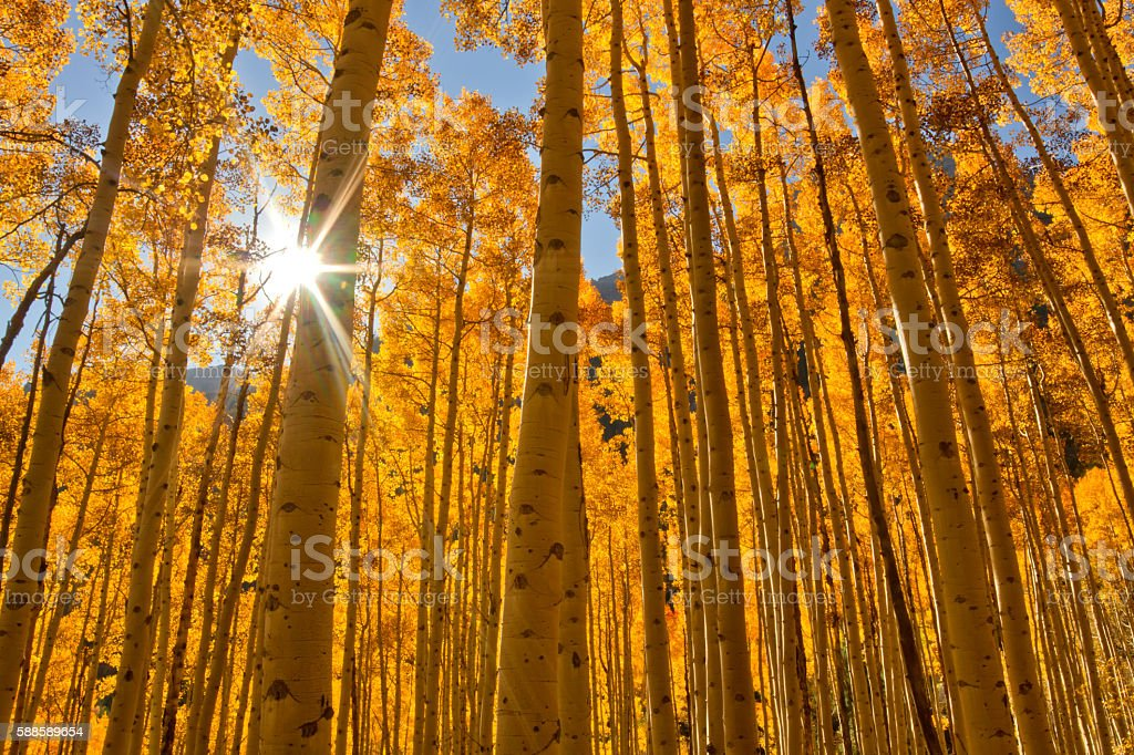 Sun bursting through a grove of Fall Aspen Trees stock photo
