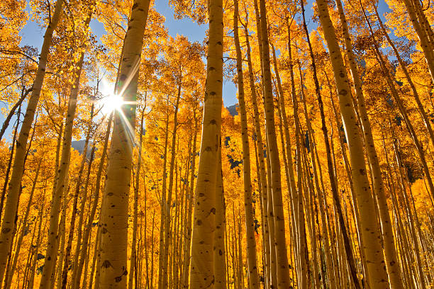 sun bursting through a grove of fall aspen trees - wäldchen stock-fotos und bilder