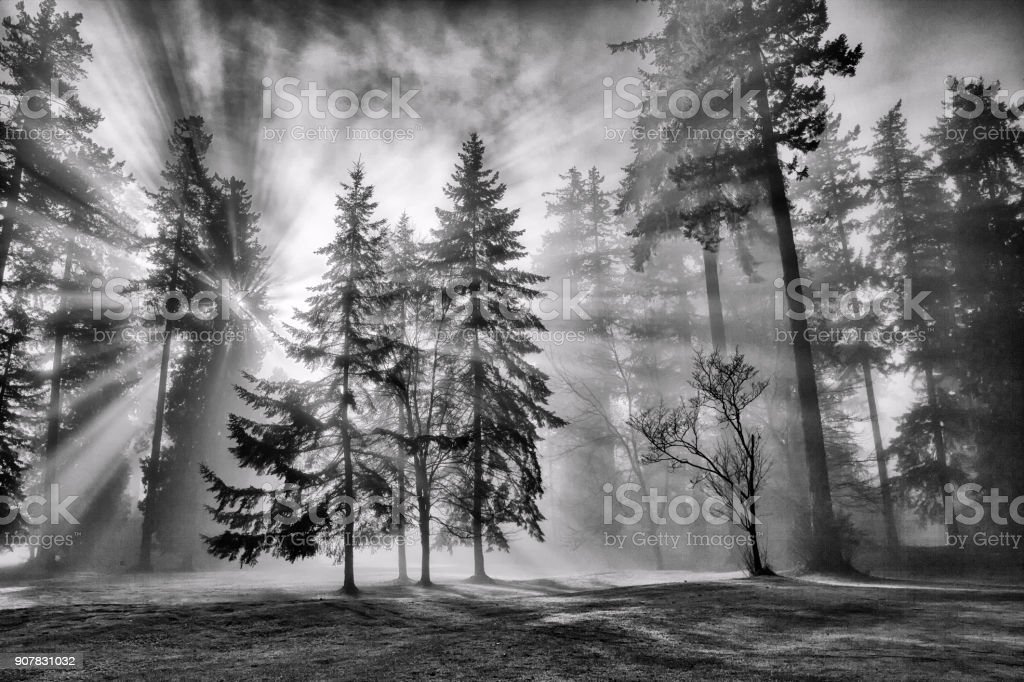 Sun bursts in the rain forest, Vancouver, Canada in black and white. stock photo