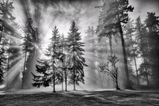 sun bursts in the rain forest, vancouver, canada in black and white. - trees in mist stock pictures, royalty-free photos & images