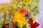Colorful sun conure is sitting on christmas decoration.