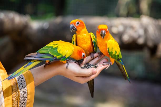 sun conure perroquet manger sur place - animaux familiers exotiques photos et images de collection