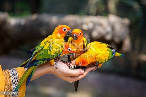 istock Sun Conure Parrot eating on hand 967030558