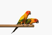 Sun Conure Parrot Screaming on Branch isolated on white with clipping path.