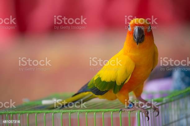 Sun conure parrot picture id481057316?b=1&k=6&m=481057316&s=612x612&h=ewhyjka0l56r1 unwswnftv5g6v61hui5fzzcvdnwho=