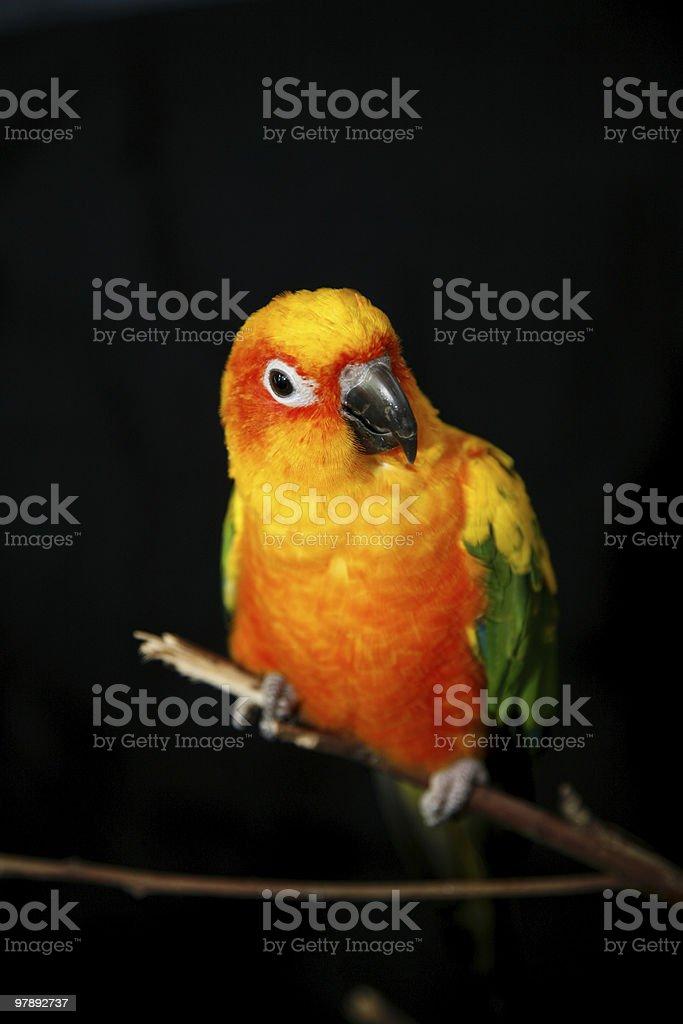 sun conure parrot royalty-free stock photo