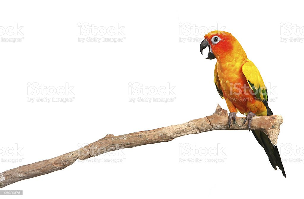 Sun Conure Parrot Screaming on a Branch  royalty-free stock photo