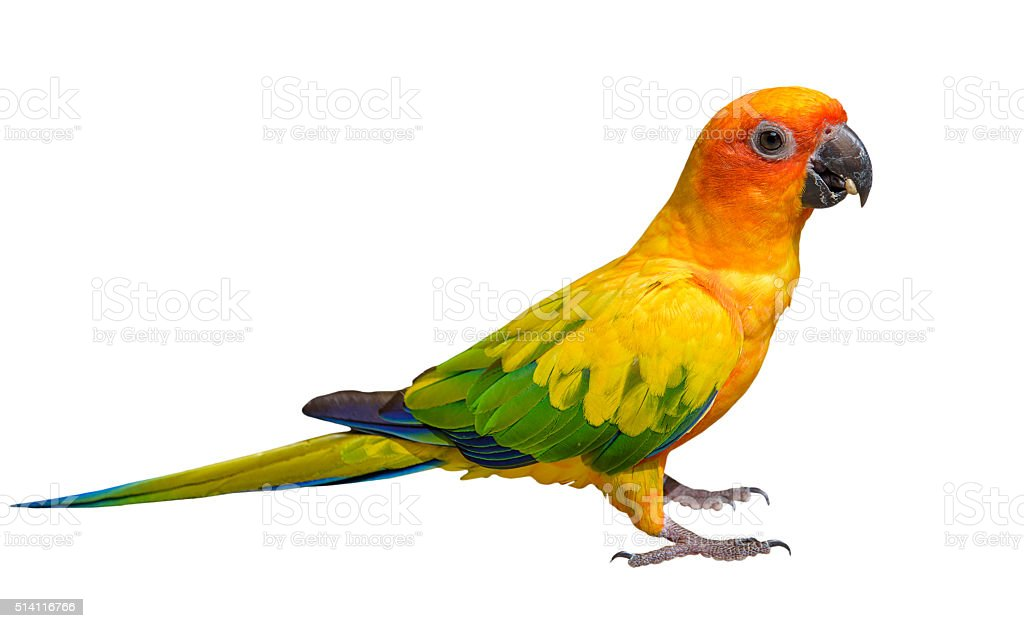 Sun Conure Parrot with white background. stock photo