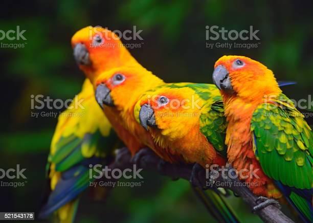Sun conure parrots picture id521543178?b=1&k=6&m=521543178&s=612x612&h=1lw90dxfhoewuwmtmssazmfrgmnvsdofr0d5ylnppti=