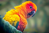 The sun parakeet, also known in aviculture as the sun conure, is a medium-sized, vibrantly colored parrot native to northeastern South America. The adult male and female are similar in appearance, with predominantly golden-yellow plumage and orange-flushed underparts and face.