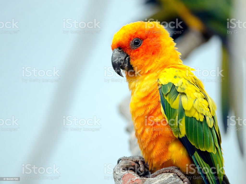 Sun Conure royalty-free stock photo