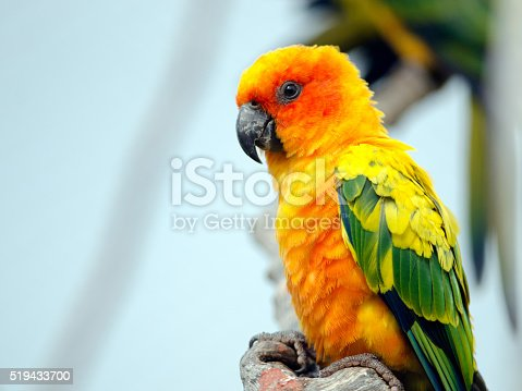 Sun Conure Stock Photo & More Pictures of 2014