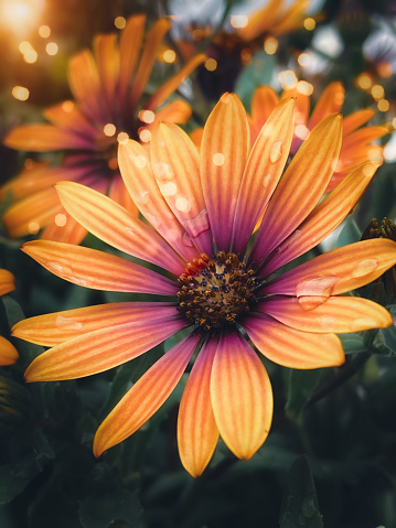A Zion Purple Sun Daisy with the setting sun in the top left corner and water drops on the petals