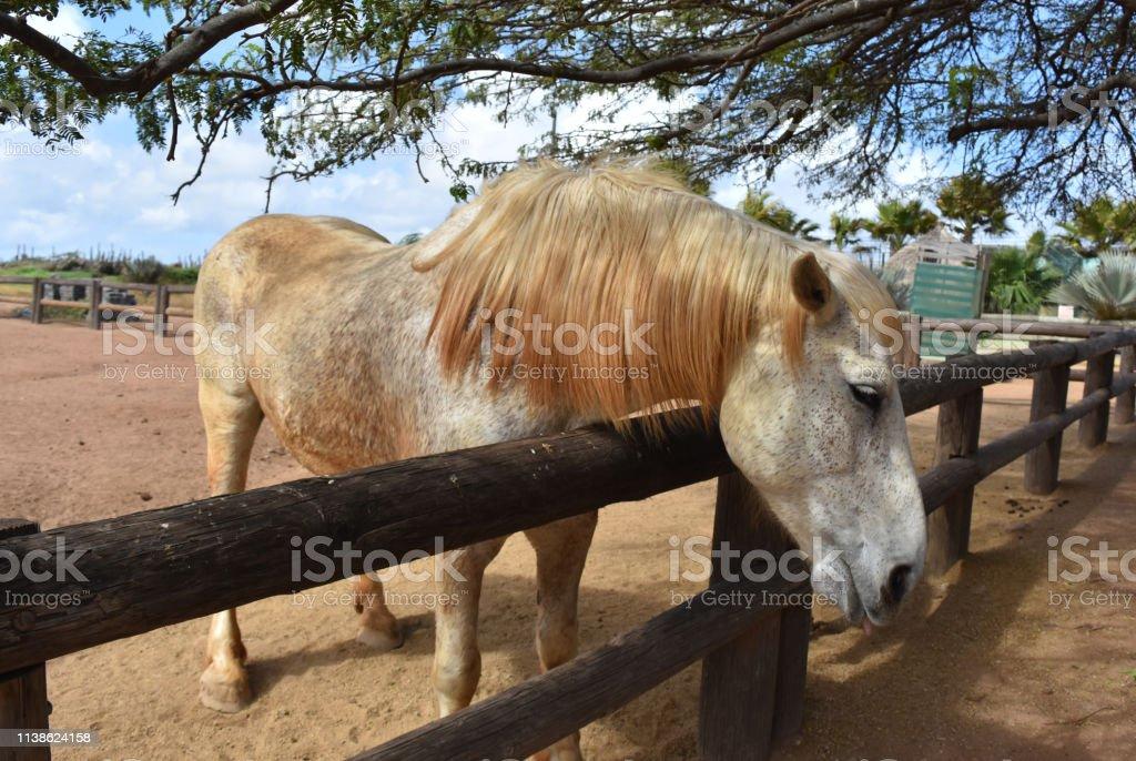 Sun Dappled White Draft Horse Stock Photo Download Image Now Istock