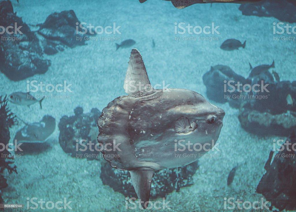 Sun Fish in a big blue aquarium stock photo