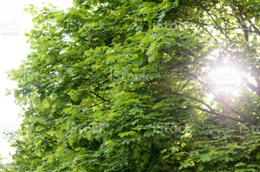 Sun flare through leafy green spring trees 免版稅 stock photo