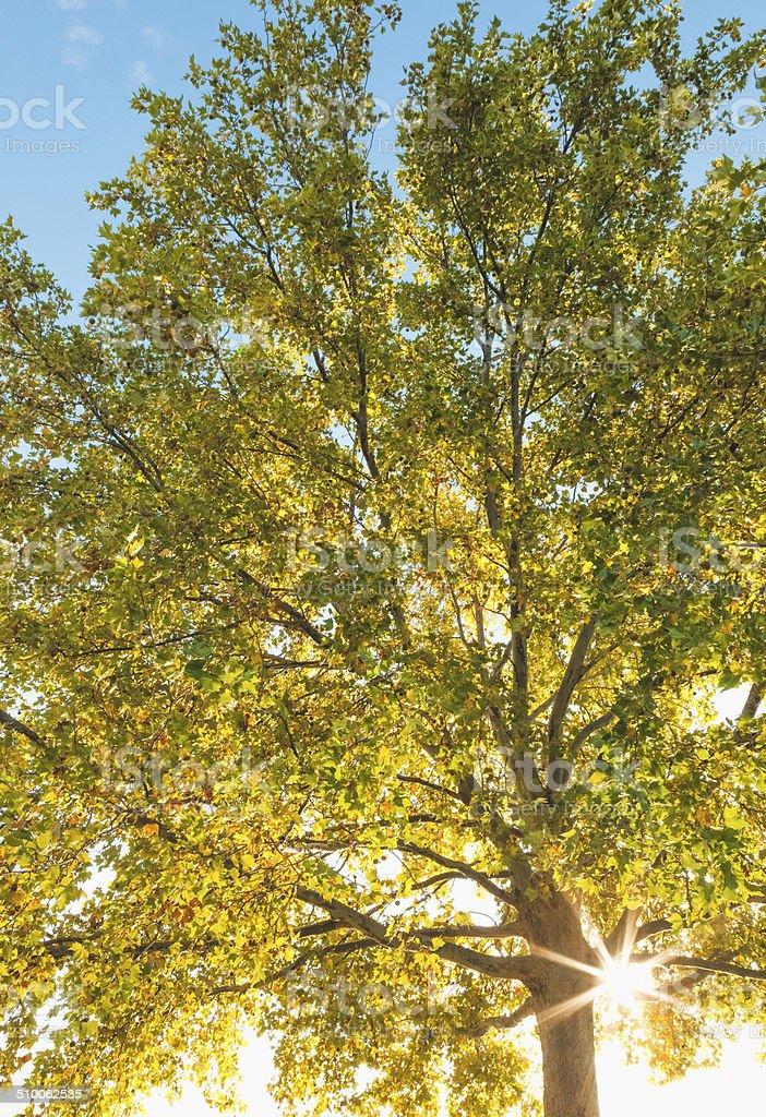 Sun Flare Through Sycamore Tree Autumn Color