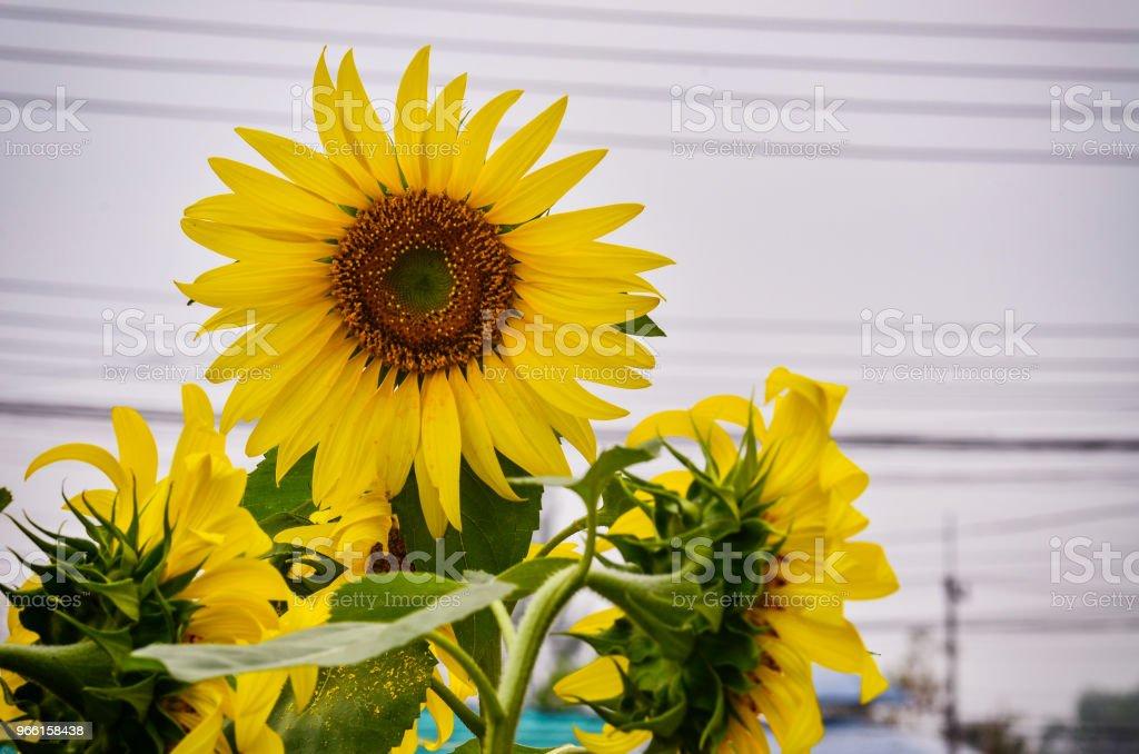 Sun flower blommar i trädgården - Royaltyfri Blomma Bildbanksbilder