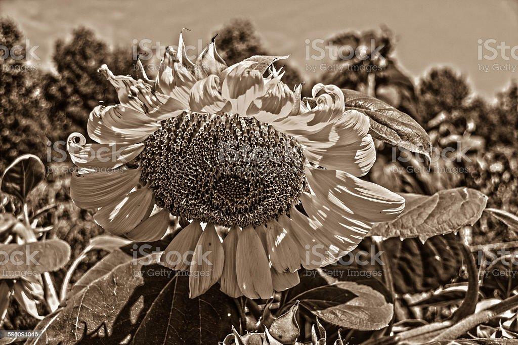 sun flower no 9 royalty-free stock photo