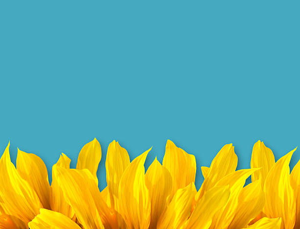 Sun Flower Petal and blue color background stock photo