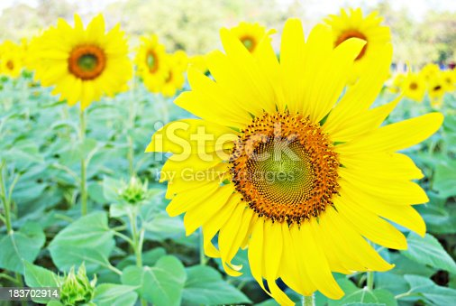 The sunflower (Helianthus annuus) is an annual plant native to the Americas. It possesses a large inflorescence (flowering head), and its name is derived from the flower's shape and image, which is often used to depict the sun. The plant has a rough, hairy stem, broad, coarsely toothed, rough leaves, and circular flower heads. The heads consist of many individual flowers which mature into seeds, often in the hundreds, on a receptacle base. From the Americas, sunflower seeds were brought to Europe in the 16th century, where, along with sunflower oil, they became a widespread cooking ingredient. Leaves of the sunflower can be used as cattle feed, while the stems contain a fibre which may be used in paper production.