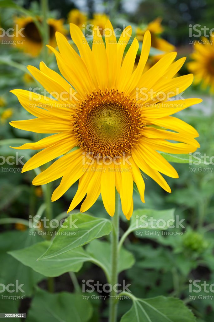 Sun flower royalty-free stock photo