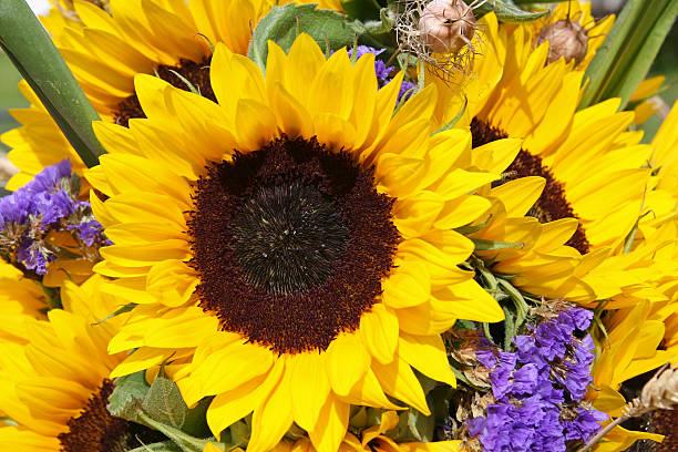 sun-blumen - gblu stock-fotos und bilder