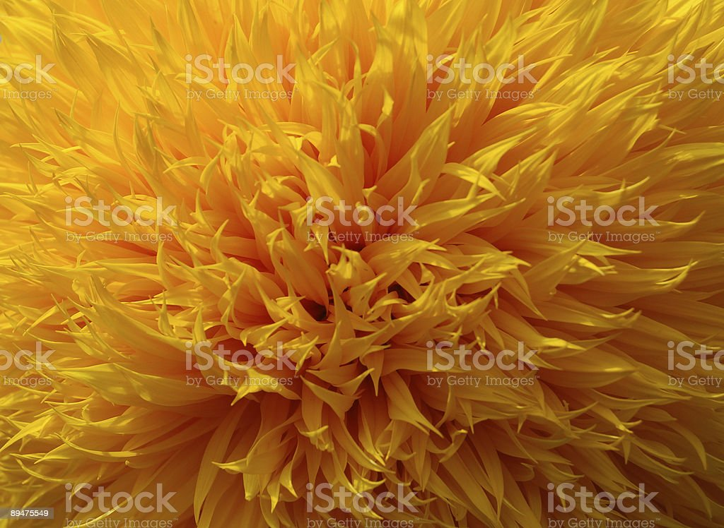 Sun Flower stock photo