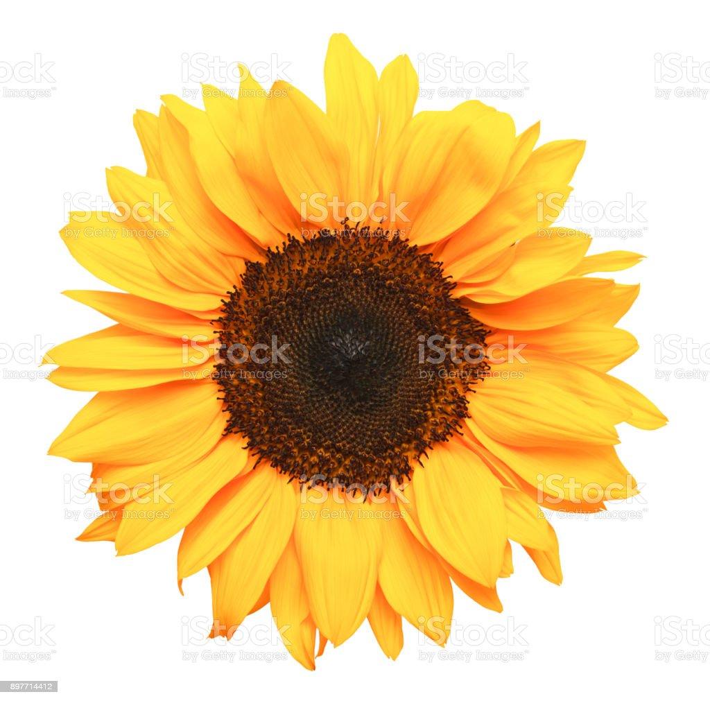 Sun Flower  스톡 사진
