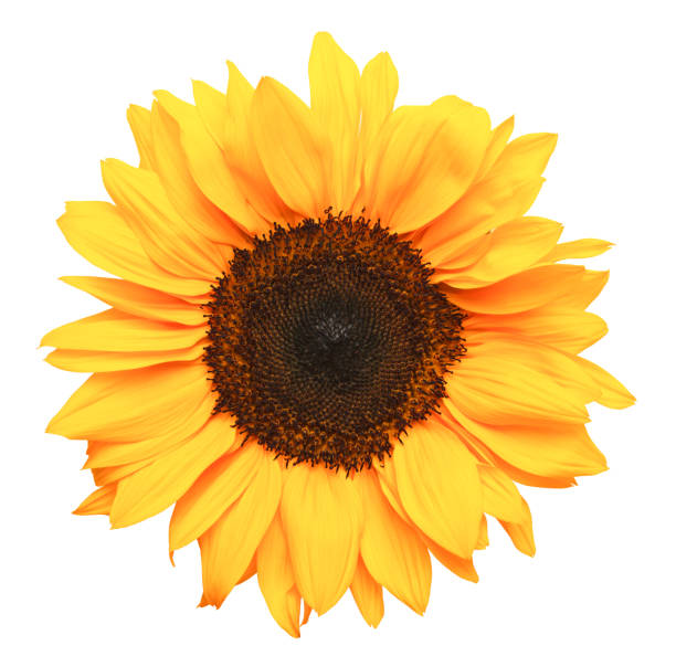 Sun Flower Yellow Sunflower Isolated on White Background. flower part stock pictures, royalty-free photos & images