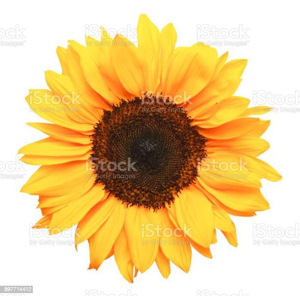 Photo of Sun Flower
