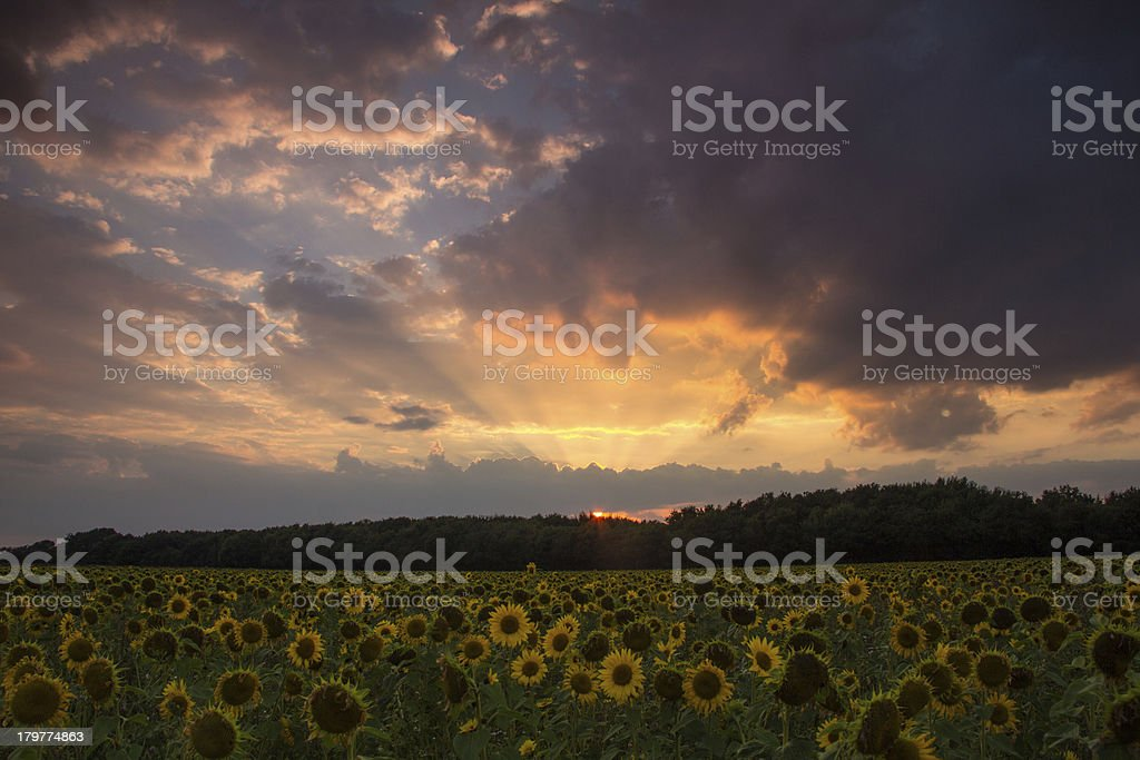 Sun flowers at sunset royalty-free stock photo