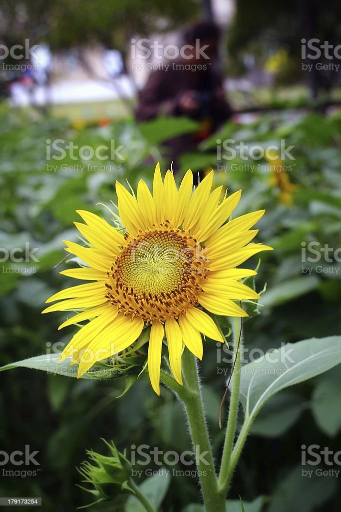 Sun flowers royalty-free stock photo
